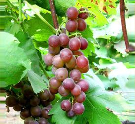 回眸-中国葡萄酒发展史